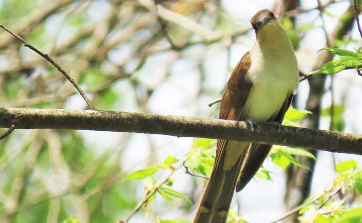A Black-billed Cuckoo perched on a tree branch with its head cocked to the left