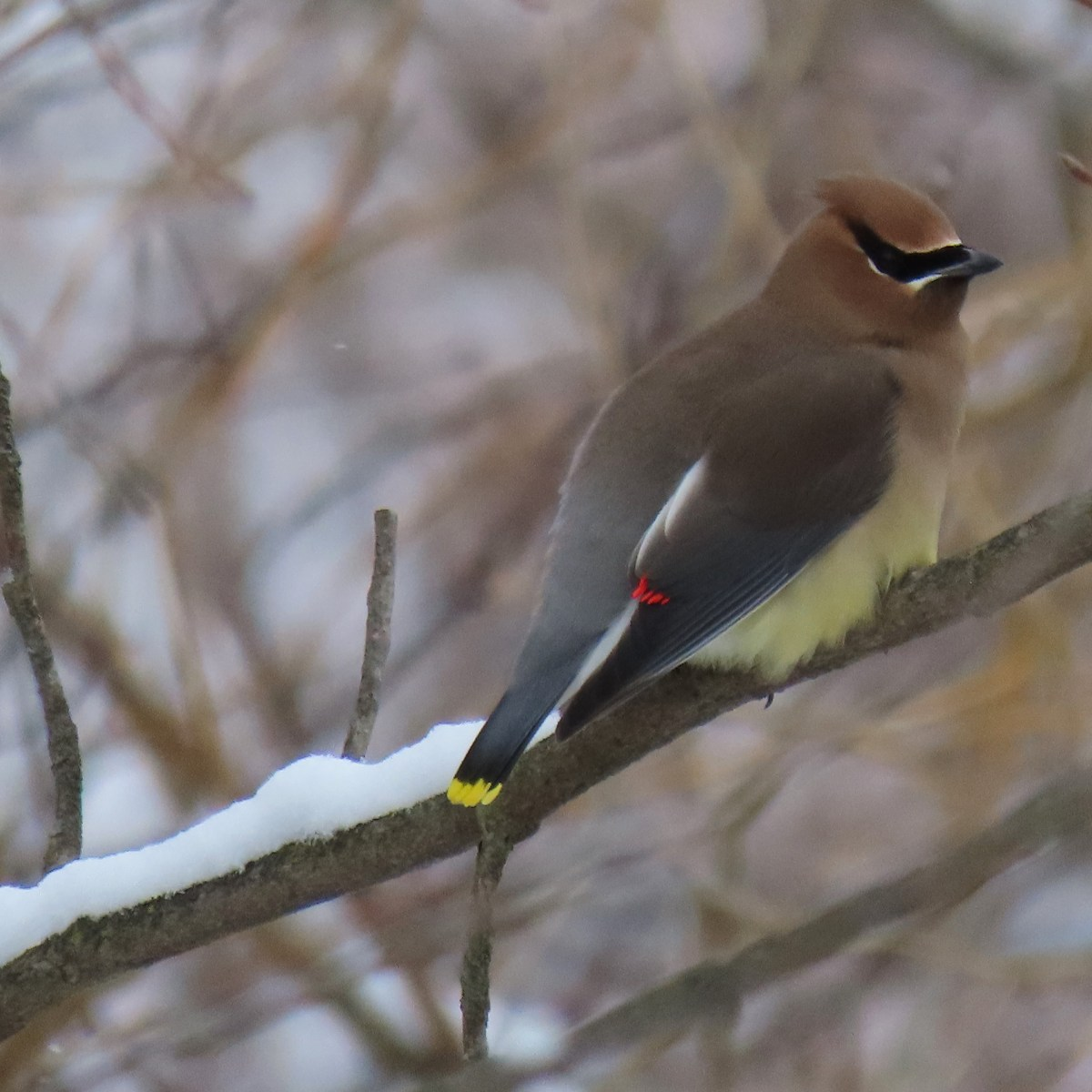 A Cedar Waxwing perched on a snow-covered branch