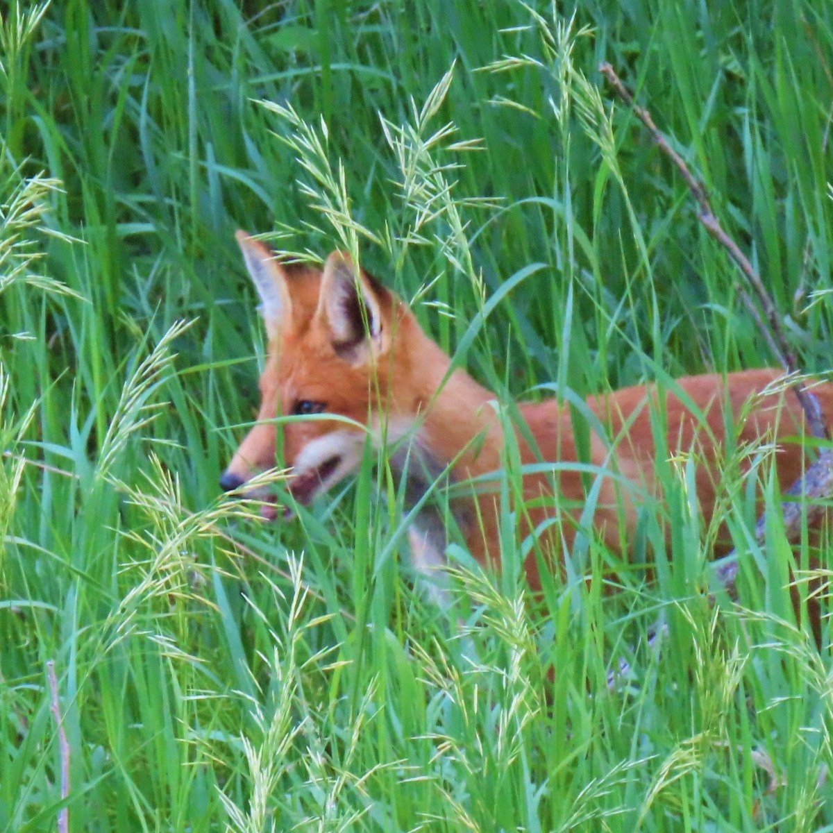 A red fox stands in tall grass