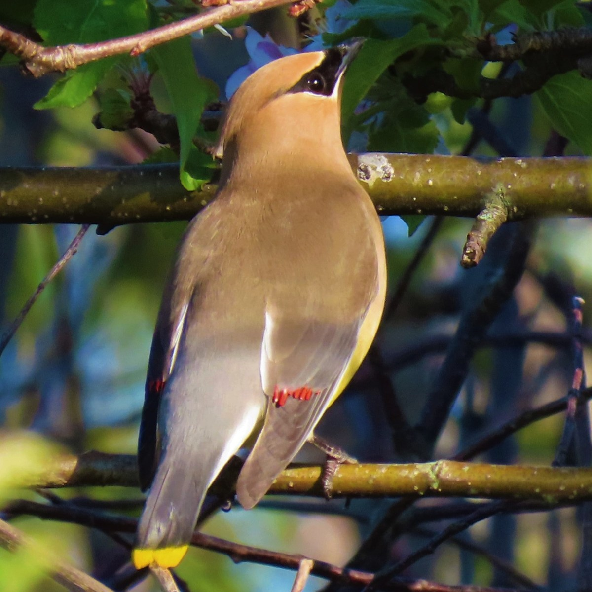 A Cedar Waxwing perched on a branch with its head tilted up at an angle