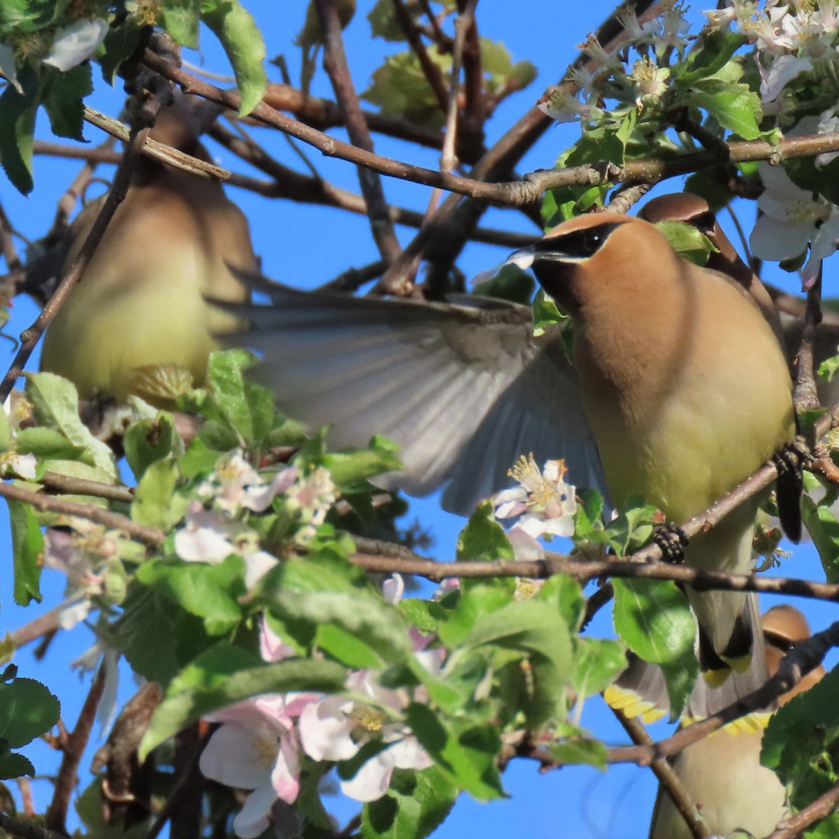 Two Cedar Waxwings in an apple tree. One has outstretched wings.