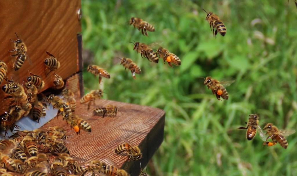 Summer honey bee flights