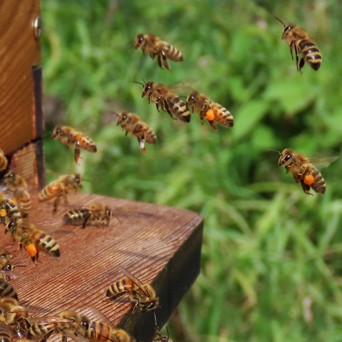 Several honey bees in flight and about to enter their hive