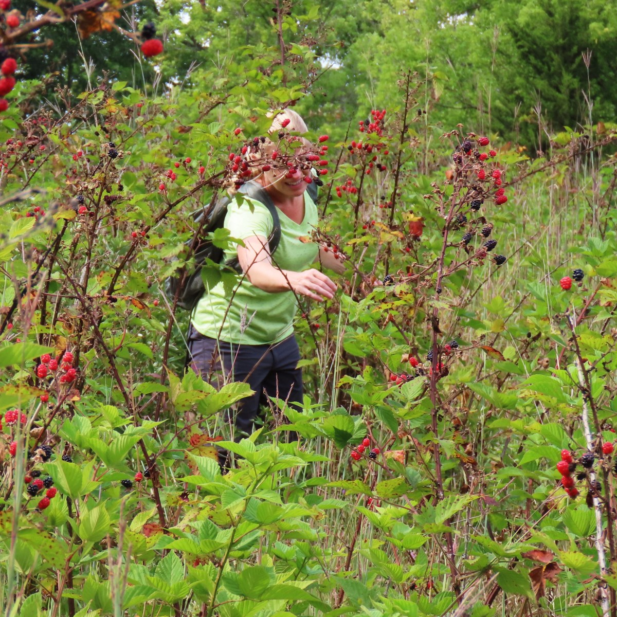 A woman picking blackberries
