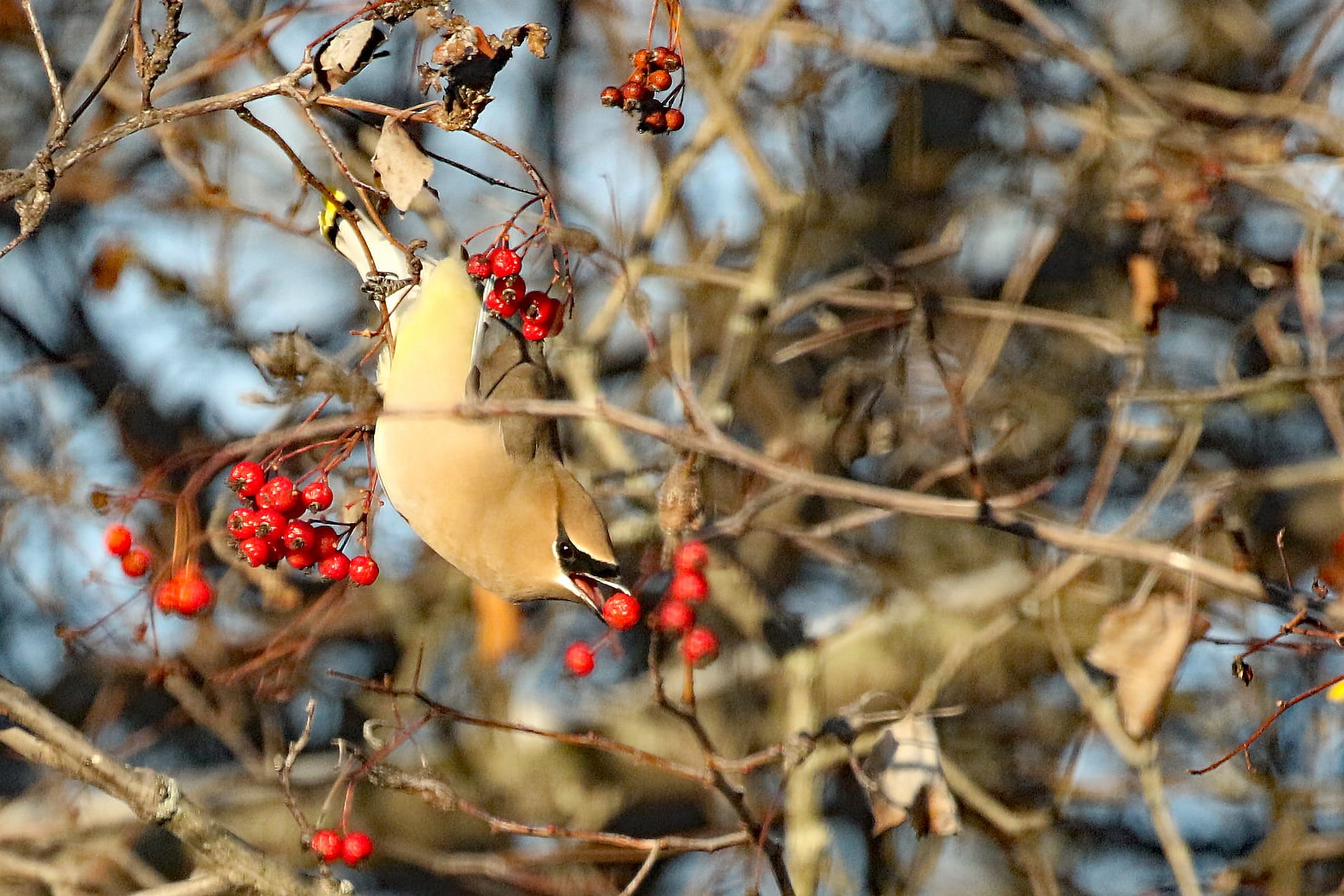 A cedar waxwing leaning down from a branch to eat a red berry