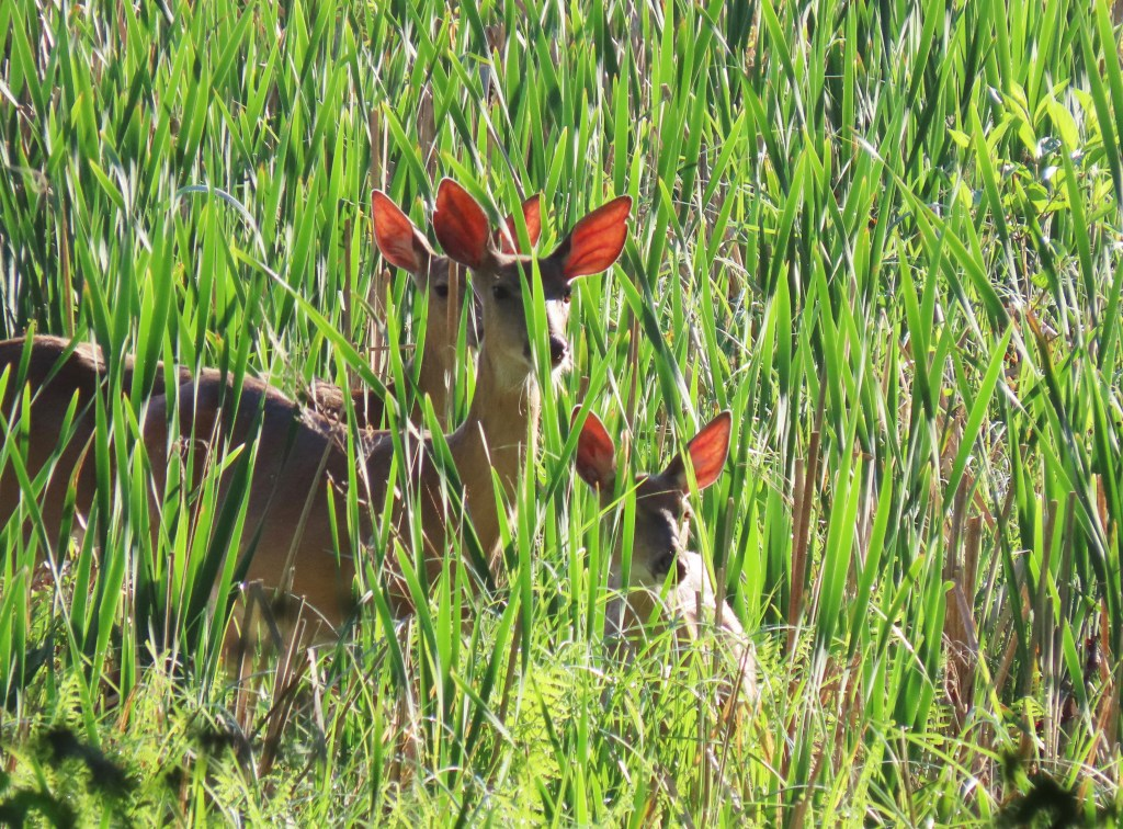deer in cattails