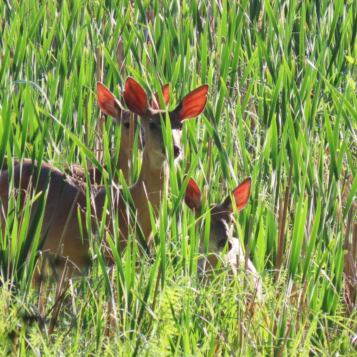 Three deer stand among tall and mostly green cattails