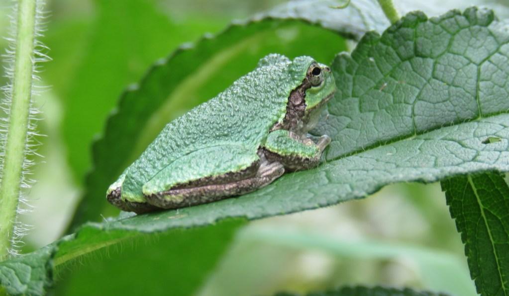 A gray tree frog sitting on a leaf