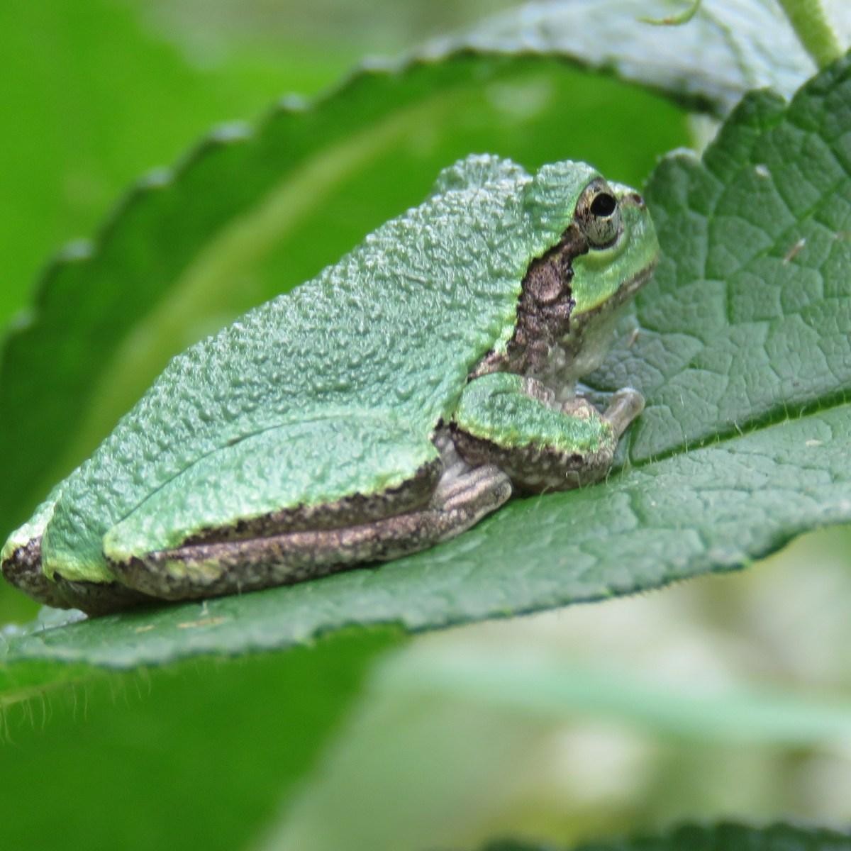 A gray tree frog sitting on a boneset leaf