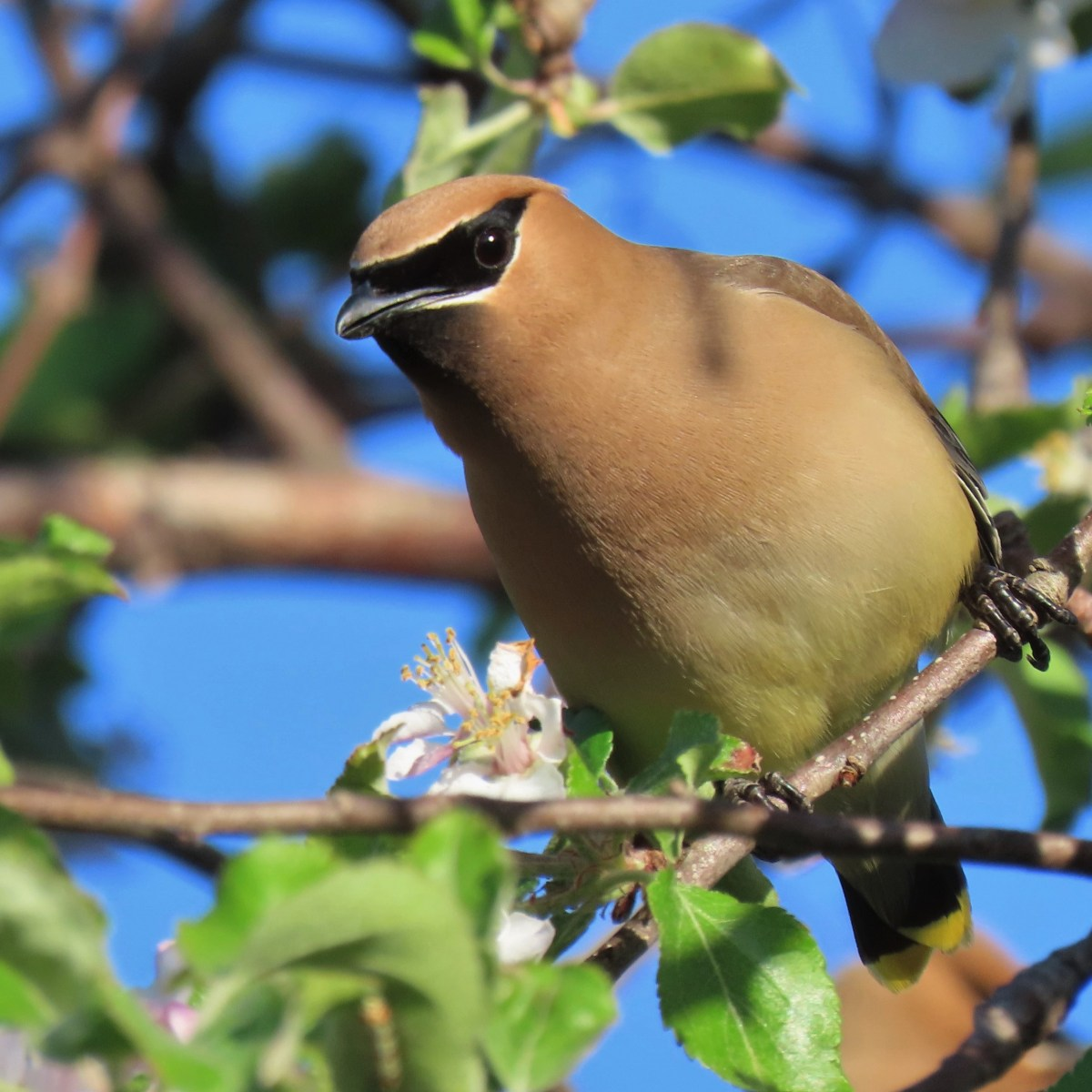 A Cedar Waxing perched on a branch