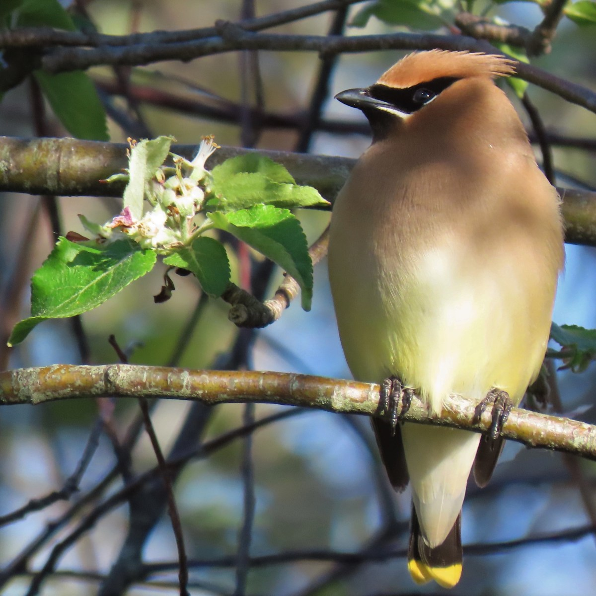 A Cedar Waxwing perched on a branch