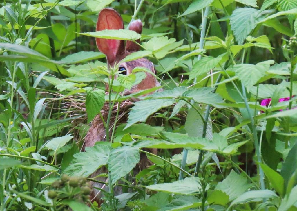 rabbit nest building