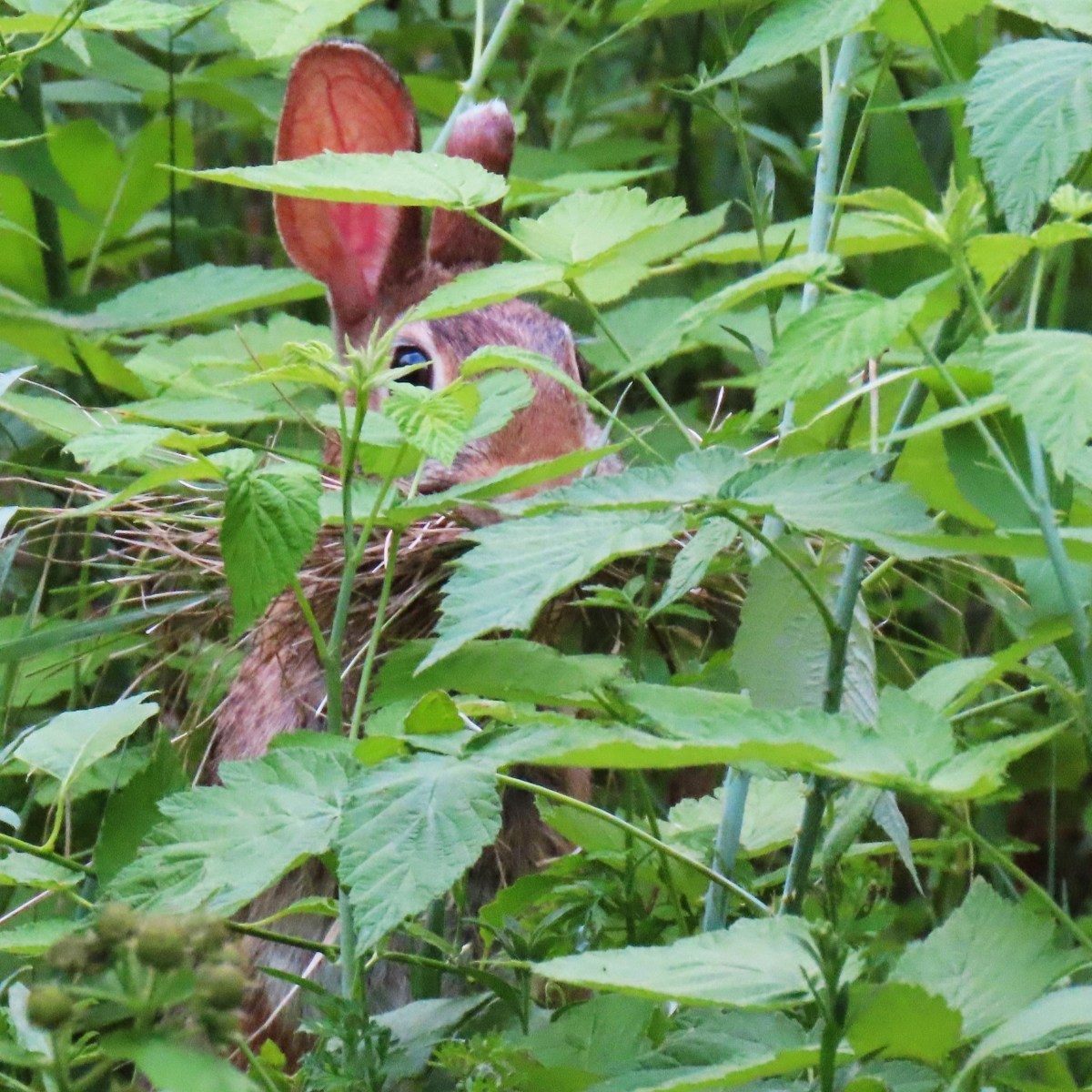 A rabbit in tall weeds with a mouthful of twigs for nest building