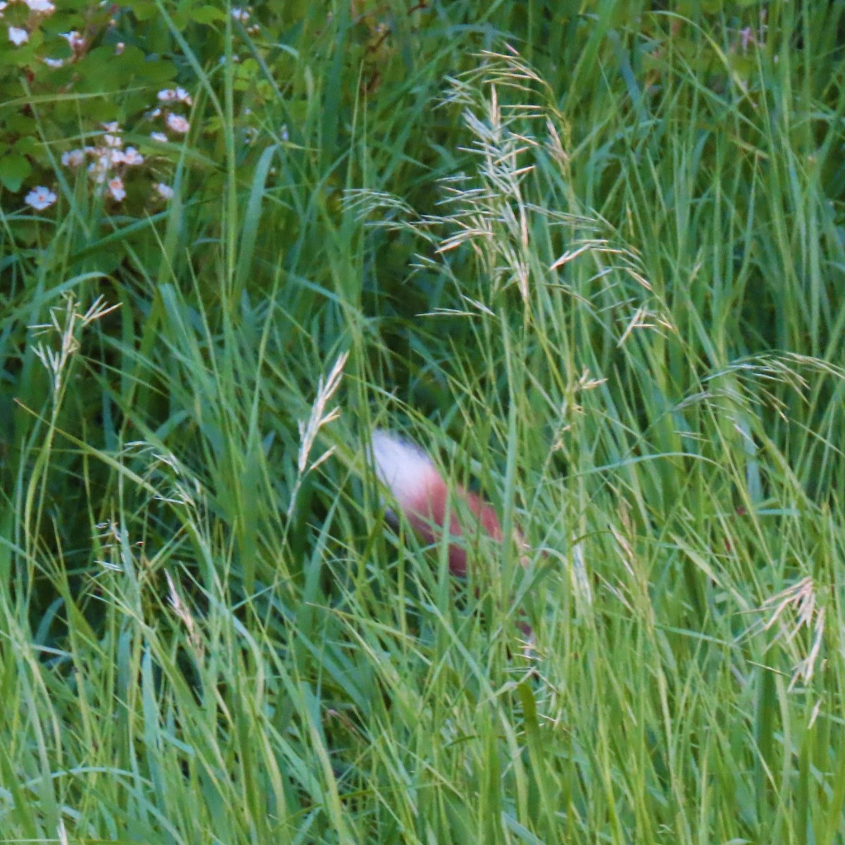 The white tip of a red fox's tail sticking out in tall grass