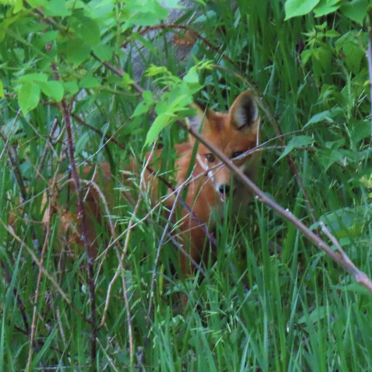 A red fox stands in tall grass with its head turned sideways toward the camera