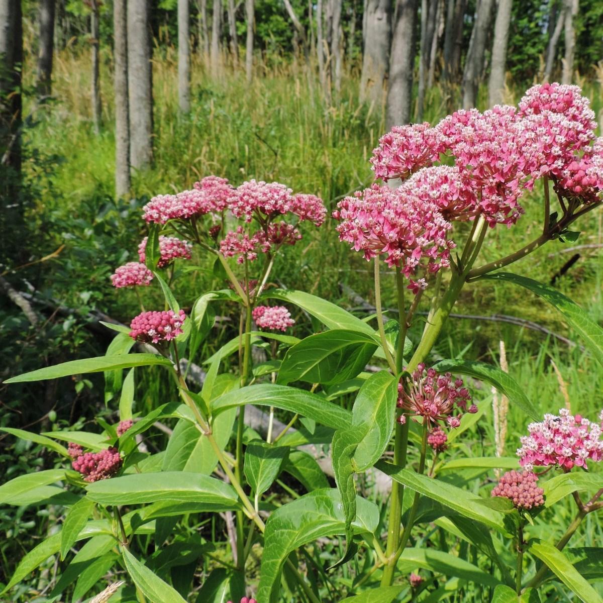Swamp milkweed growing in a wooded area
