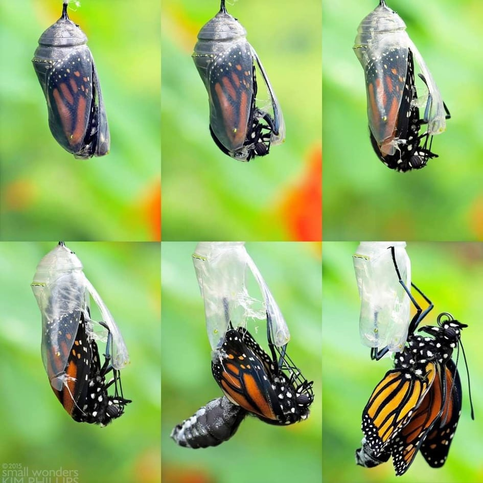 A collage of six images showing a monarch butterfly emerging from its chrysalis