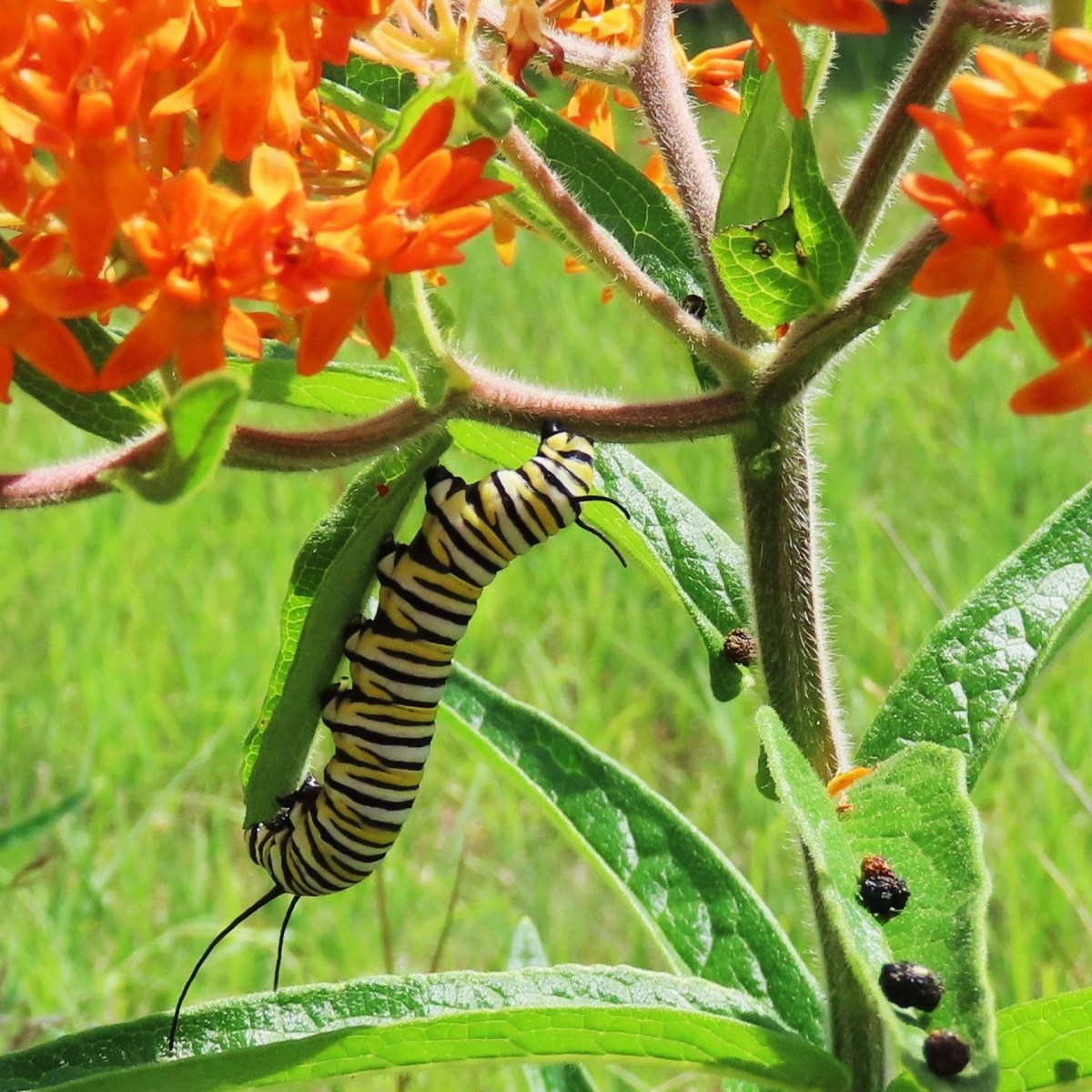 A caterpillar and frass (caterpillar poop) on butterfly weed leaves
