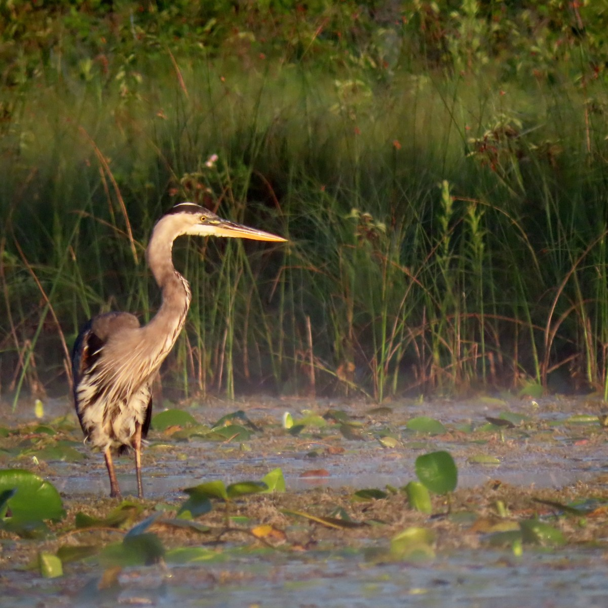 Great Blue Heron stands in shallow water, mist rises from it