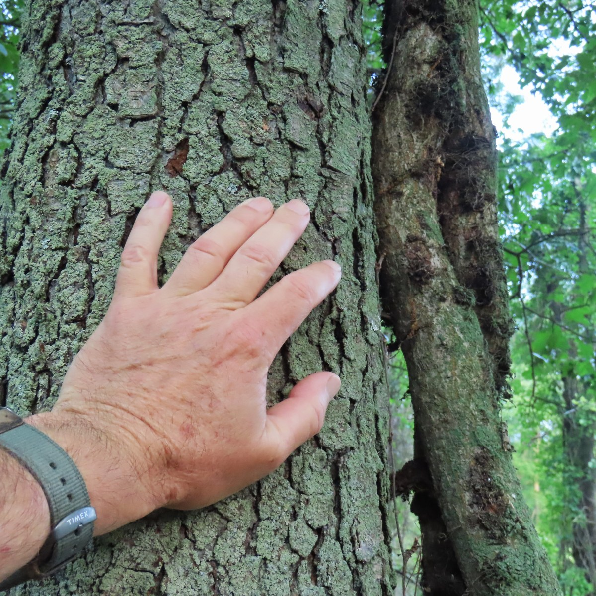 A thick poison ivy vine grows up a tree trunk