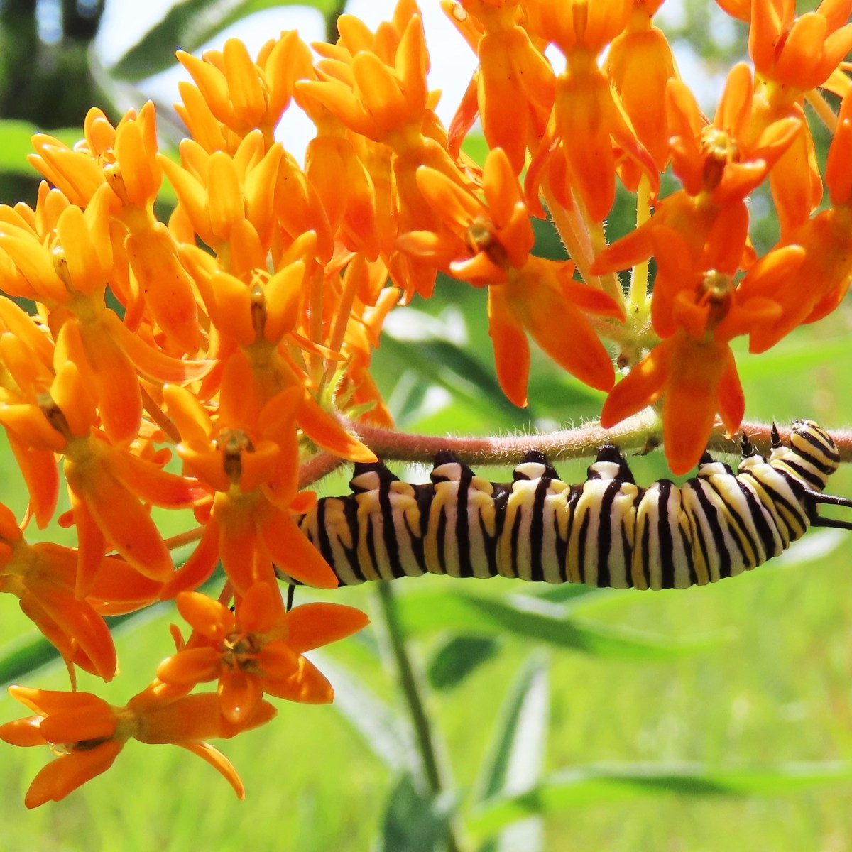A monarch caterpillar crawls along butterfly weed blossoms