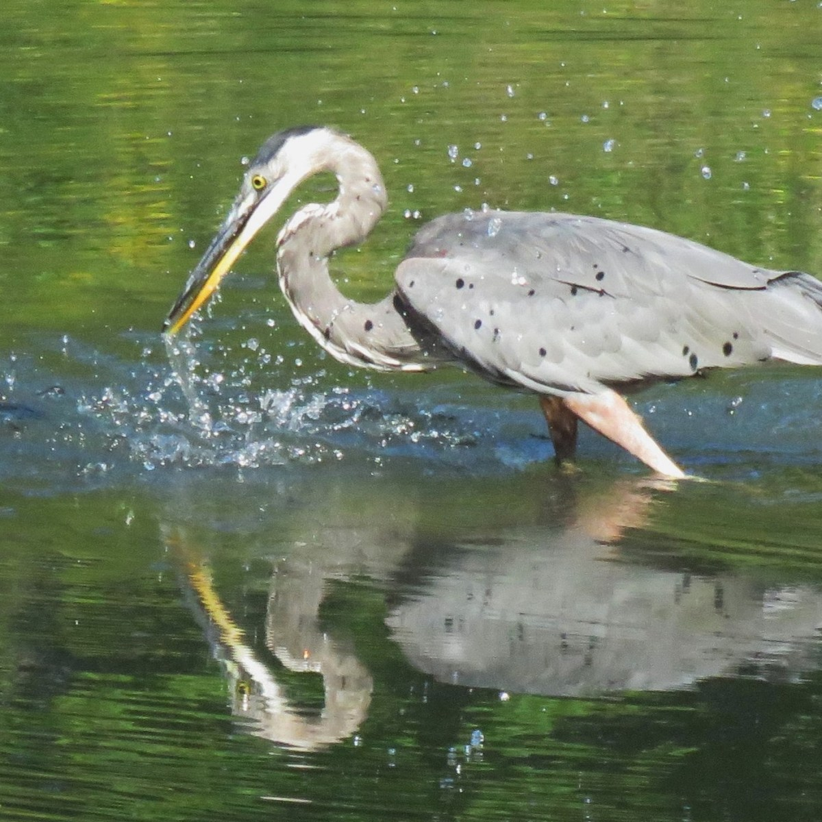 A Great Blue Heron stabs its beak down into the water creating a splash