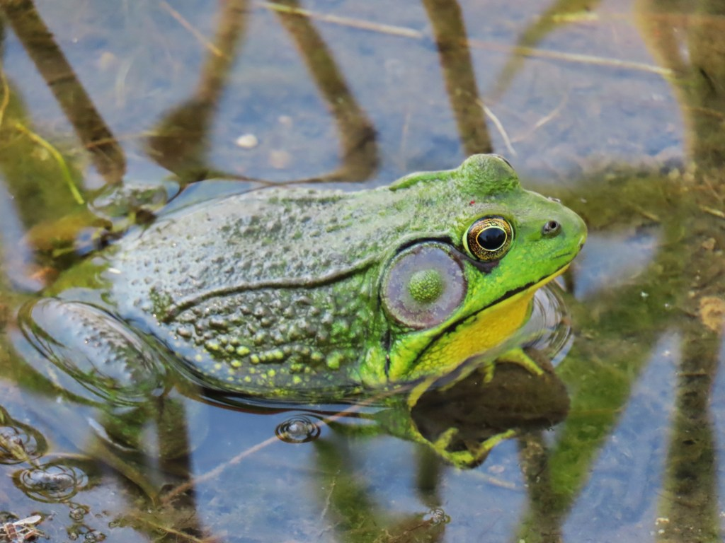 Male Green Frog