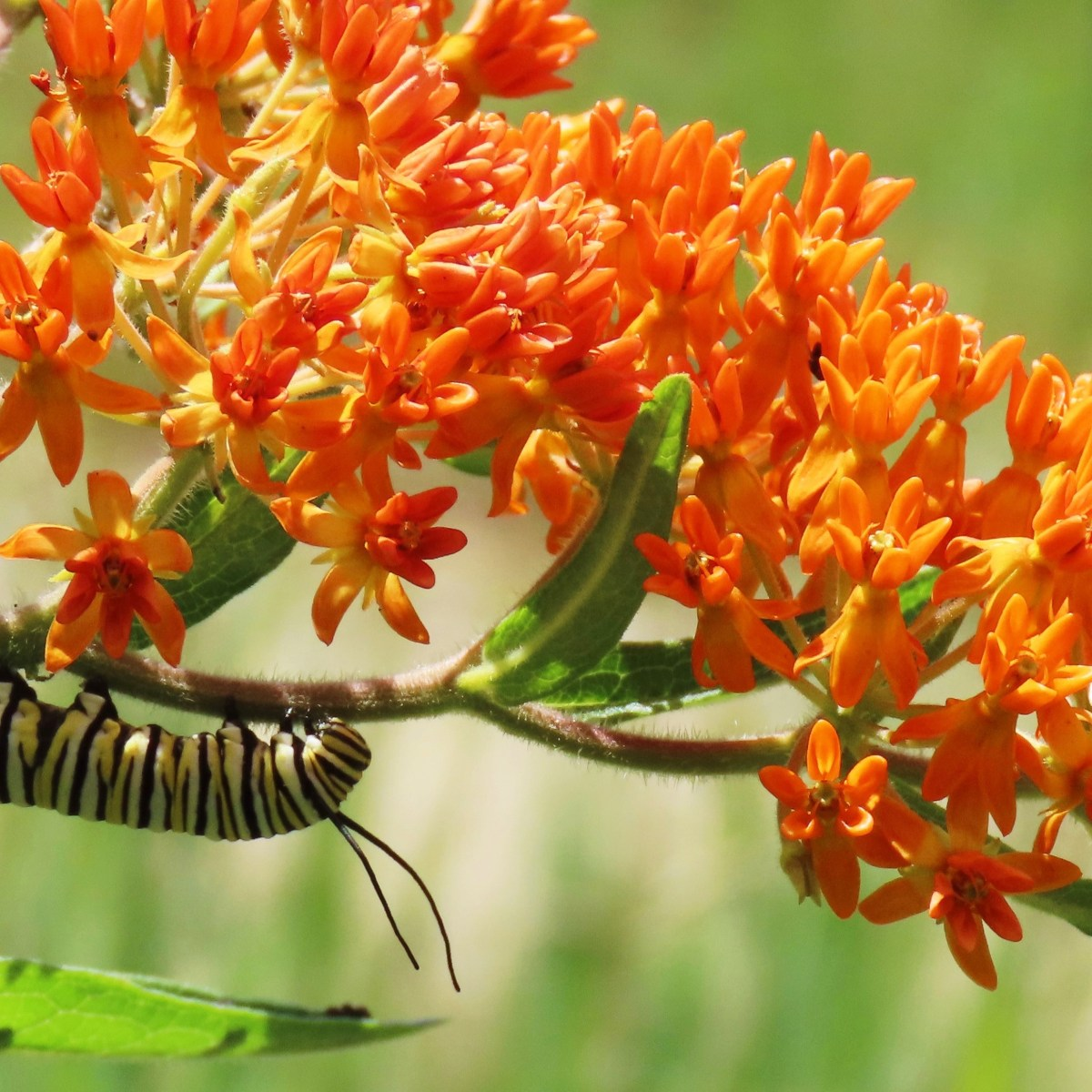 A caterpillar and a bee on a butterfly weed plant