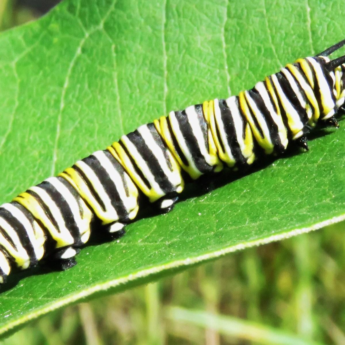 A monarch caterpillar crawls along a green leaf