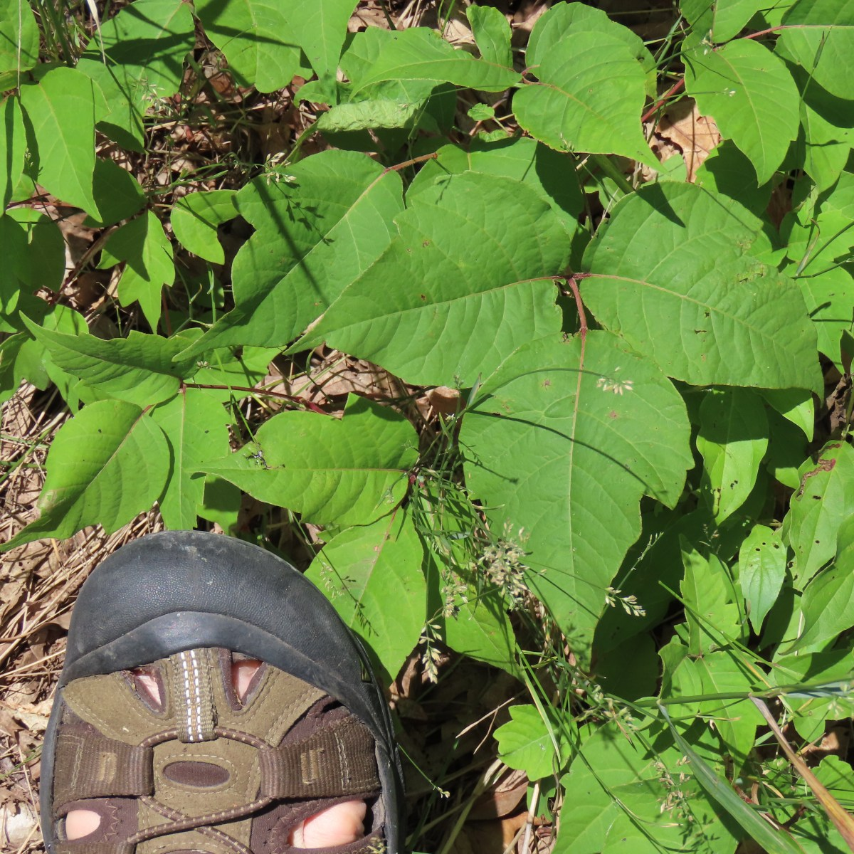 Green poison ivy growing on the ground