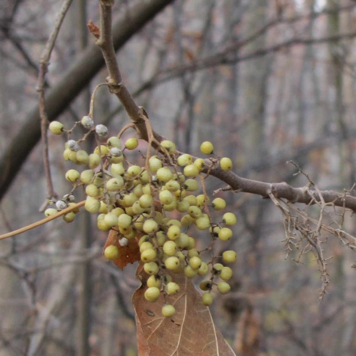 Poison ivy berries hang from a leafless branch in late autumn