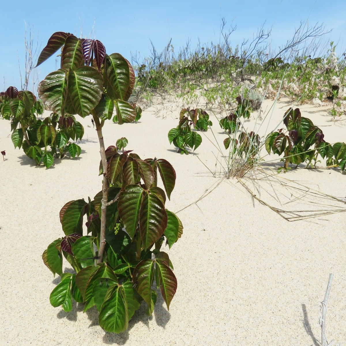 Poison ivy growing in a sand dune