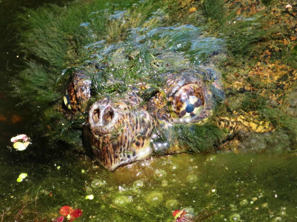 A Snapping Turtles head, mostly covered in algae