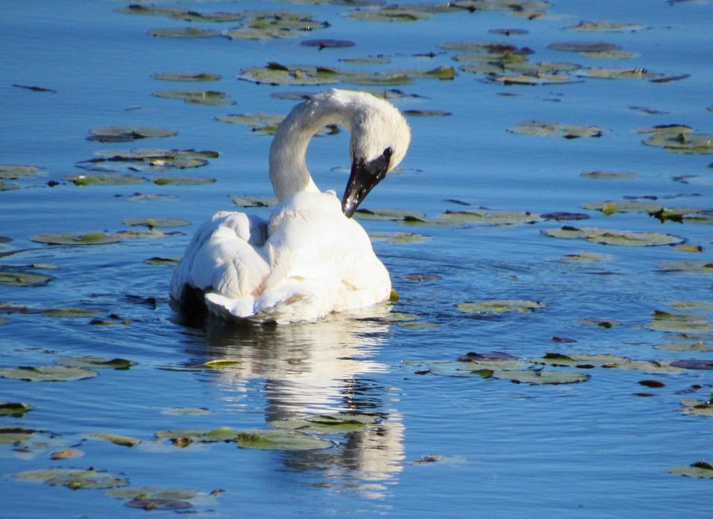 A Trumpeter Swan grooms itself