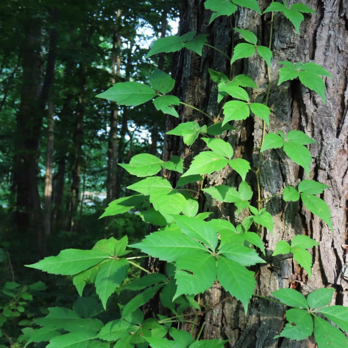 Virginia creeper on tree trunk