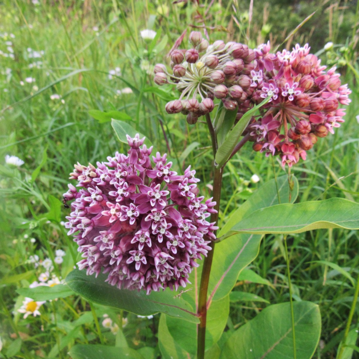 Common milkweed with pink blossoms in a meadow
