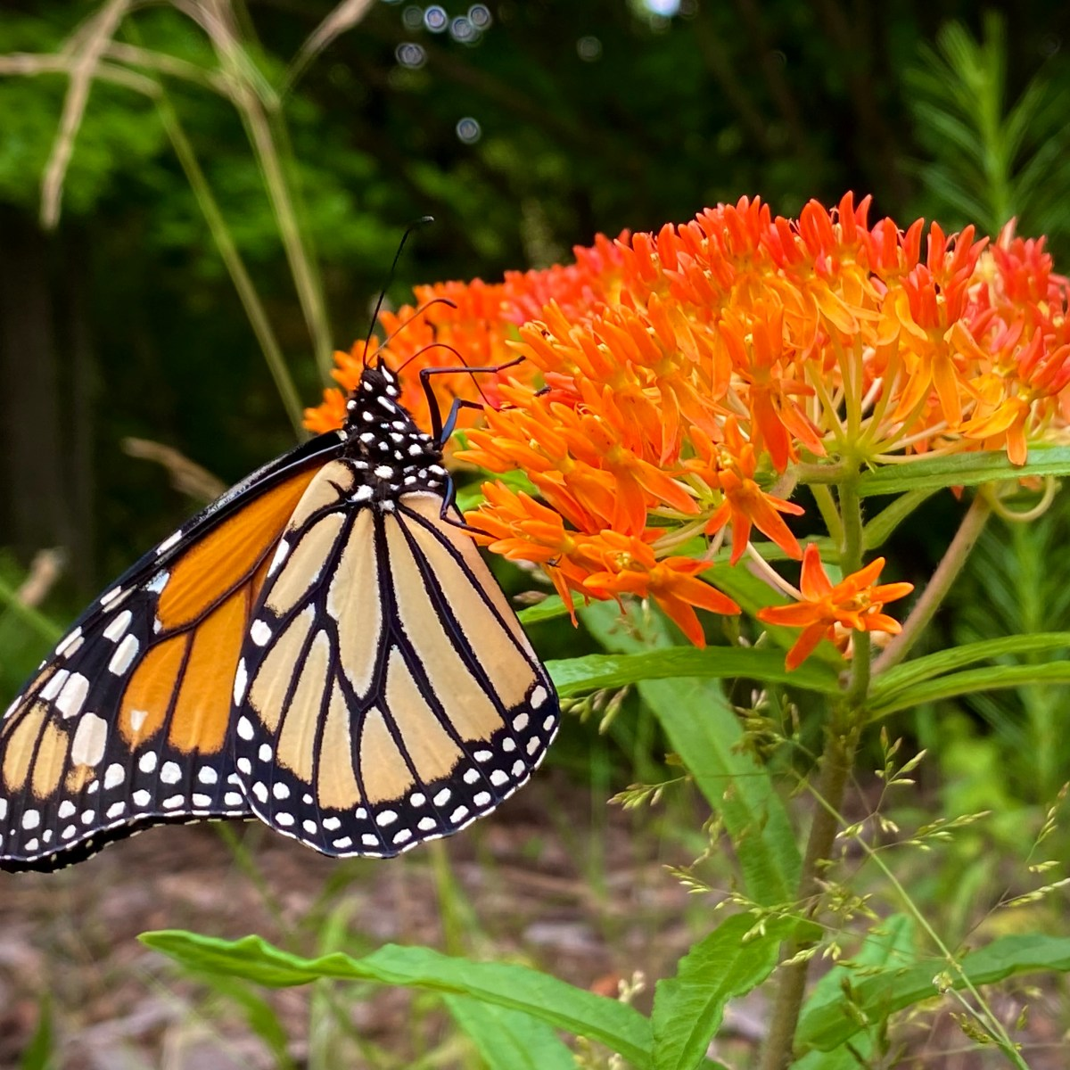 A monarch butterfly collects next from butterfly weed blossoms