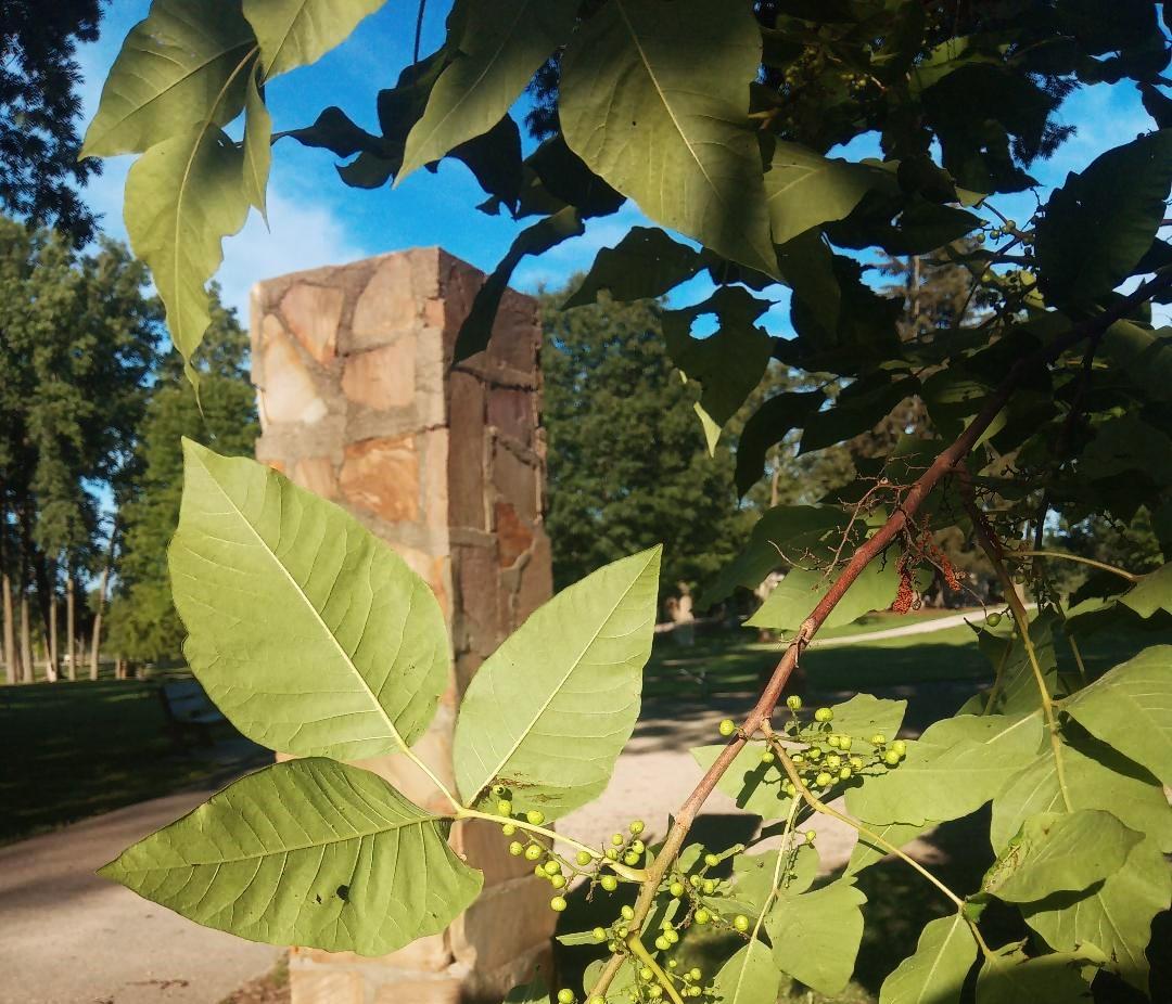 Poison ivy growing near a park entrance