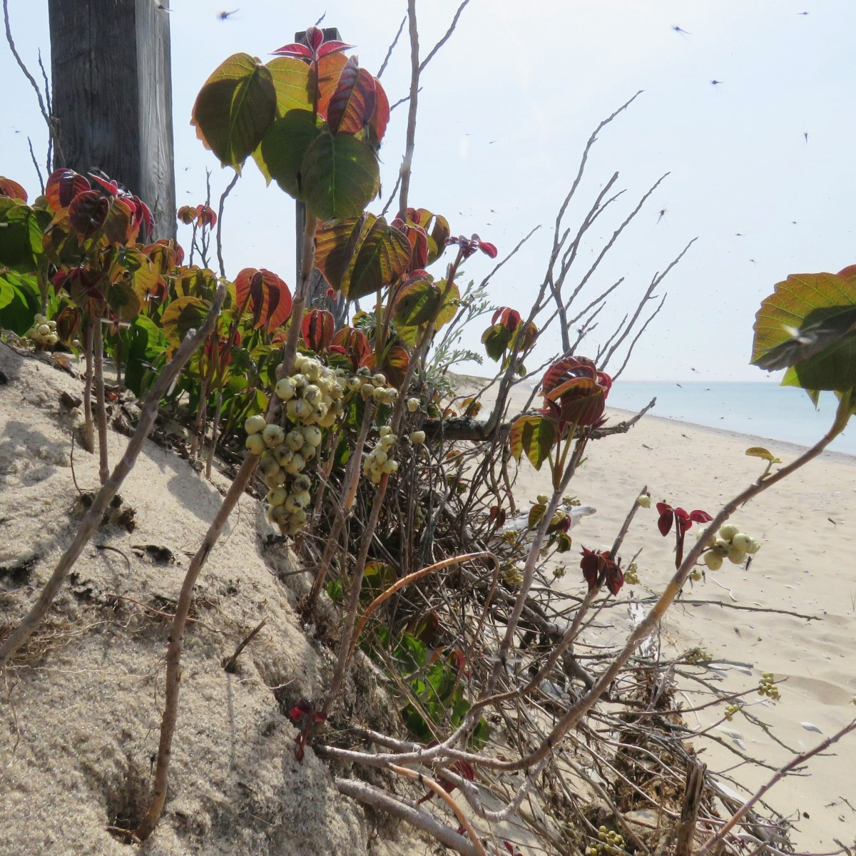 Poison ivy growing in beach sand