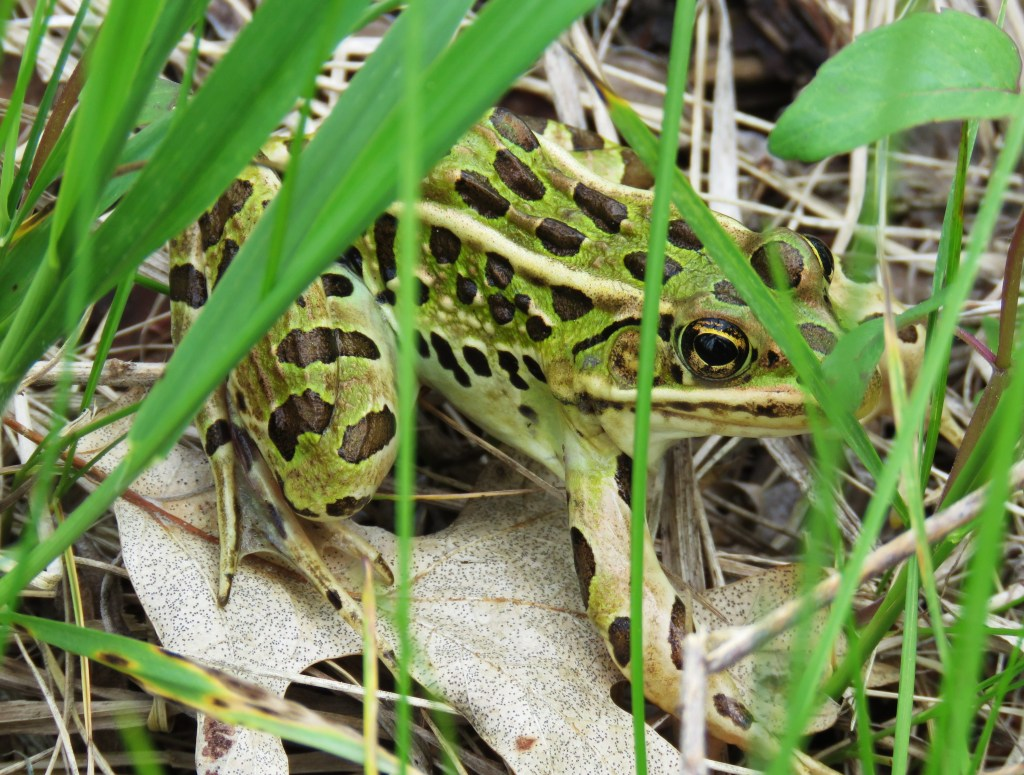 Leopard frog almost hidden by wetland grass