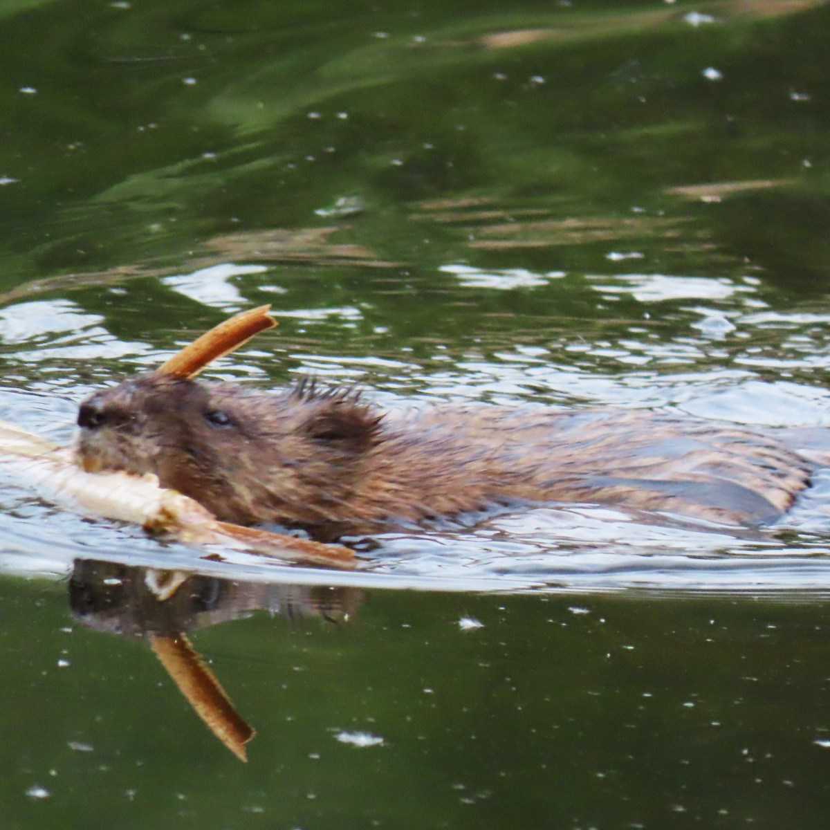 A muskrat swims with a cattail in its mouth