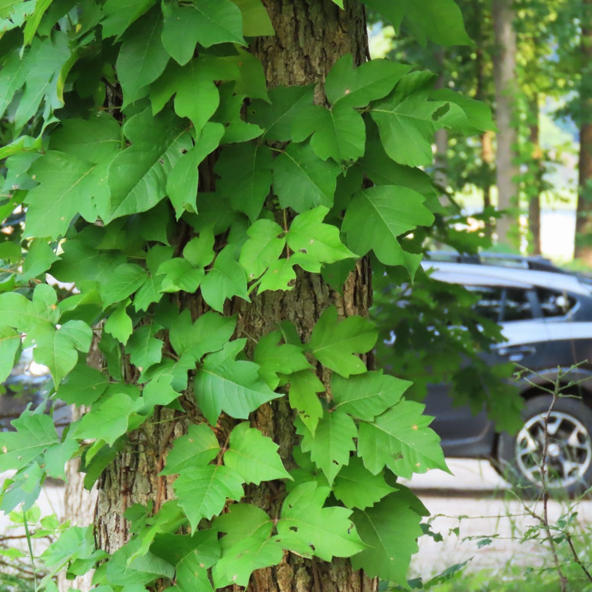 Poison ivy climbing up a tree in a parking lot