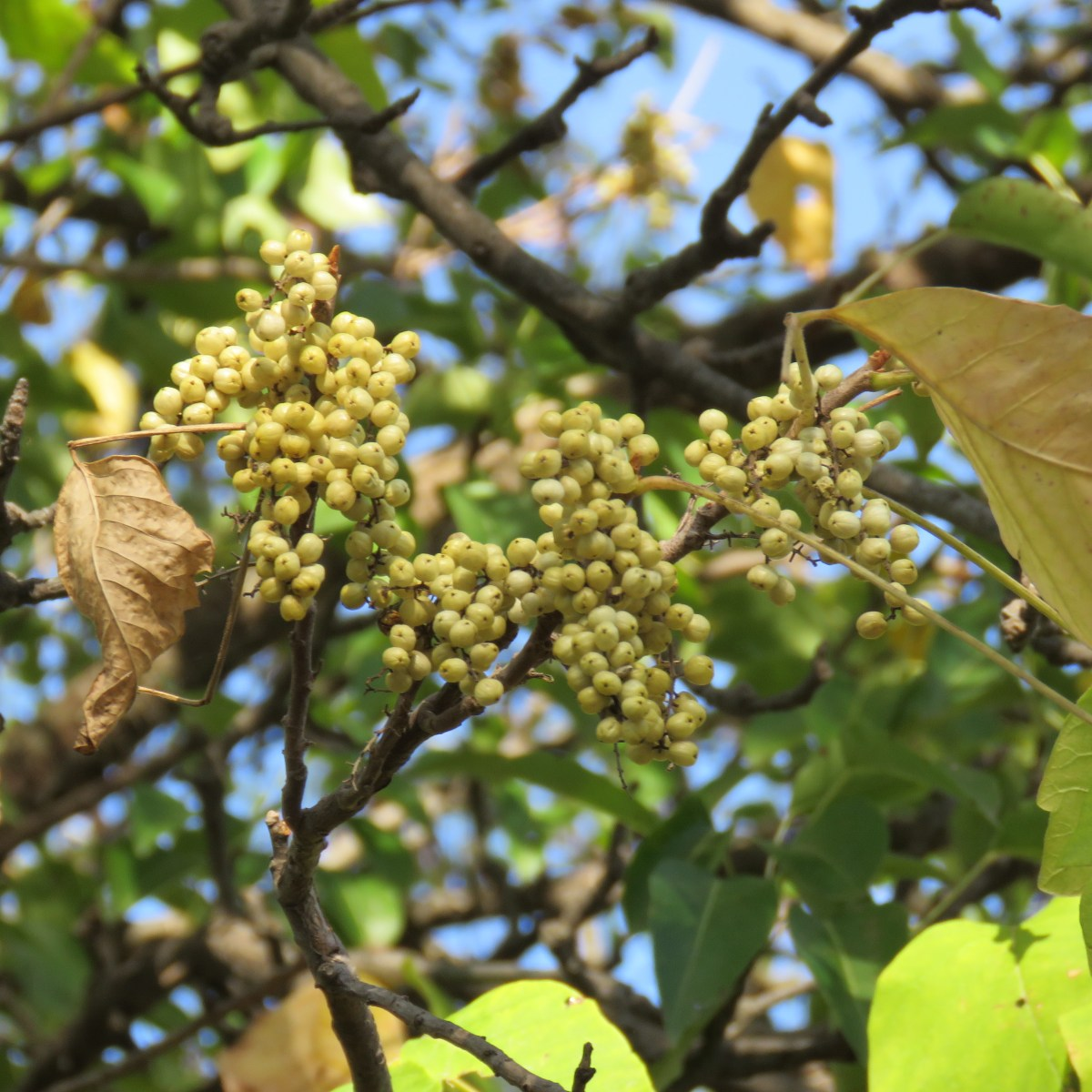 Yellowish poison ivy berries in mid-summer