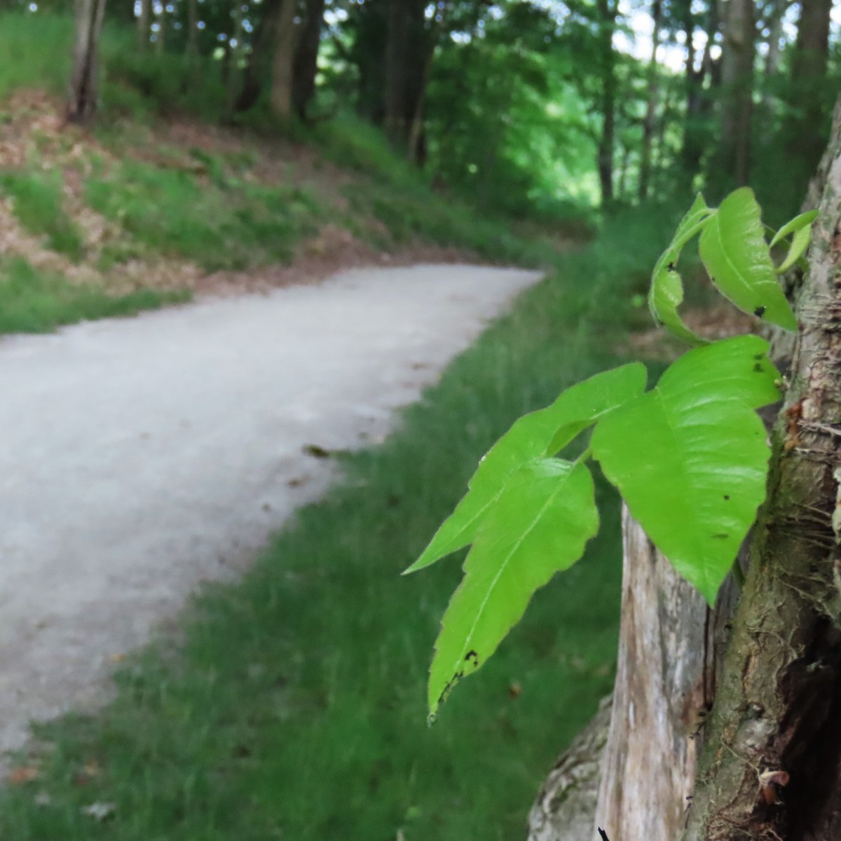 Poison ivy leaves on a tree trunk near a trail