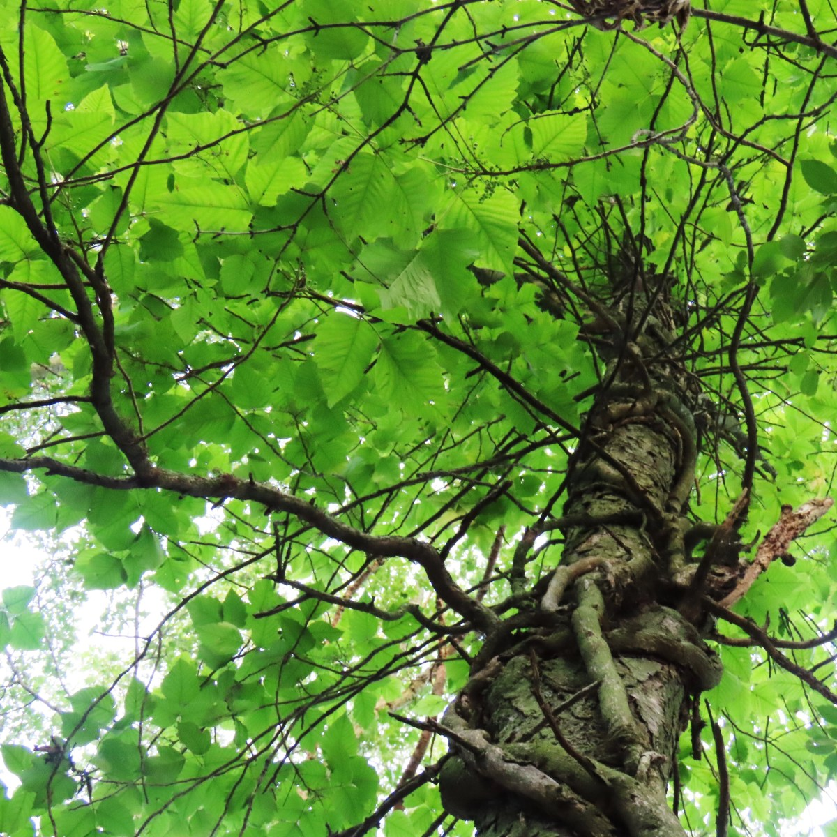 A tree covered with poison ivy