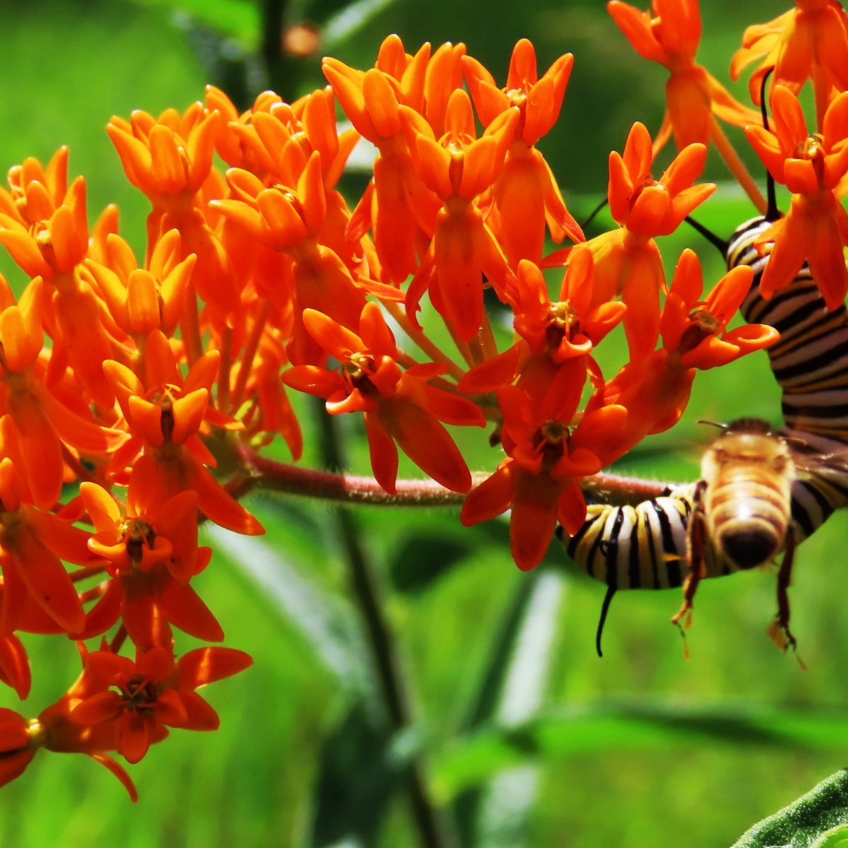 A caterpillar on a butterfly weed plant while a bee flies nearby