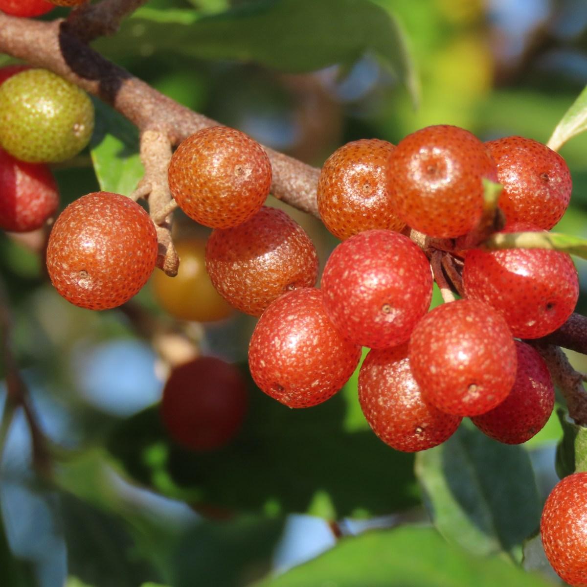 Reddish autumn olive berries