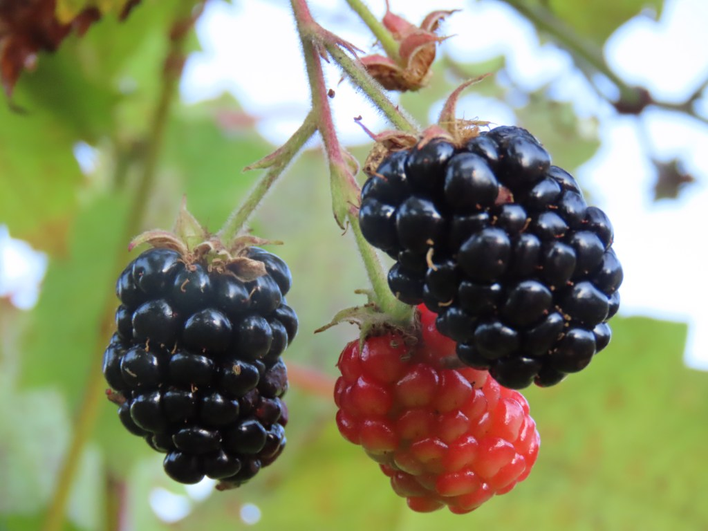Three blackberries hanging from a vine.