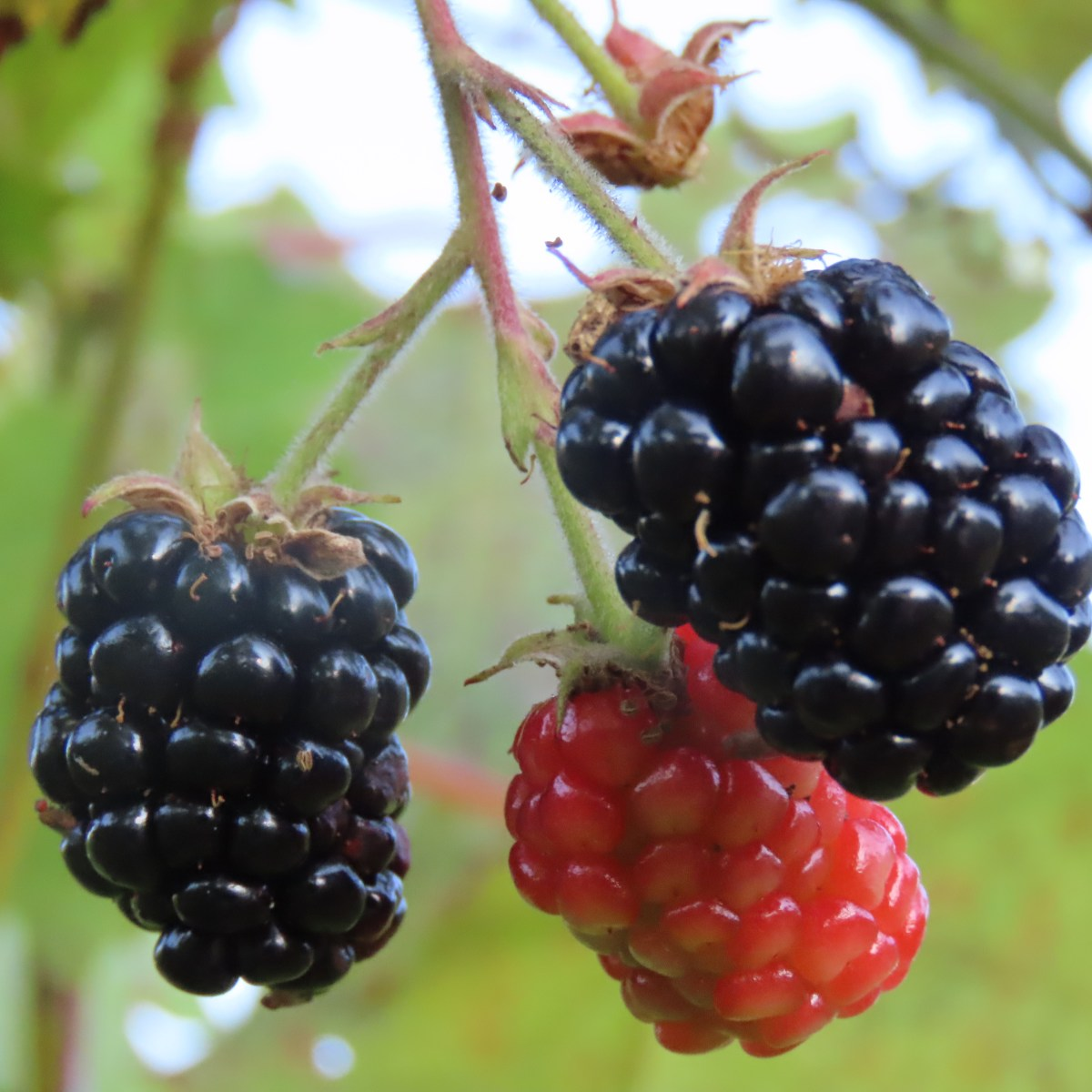Three blackberries, one still red, hanging from a vine.