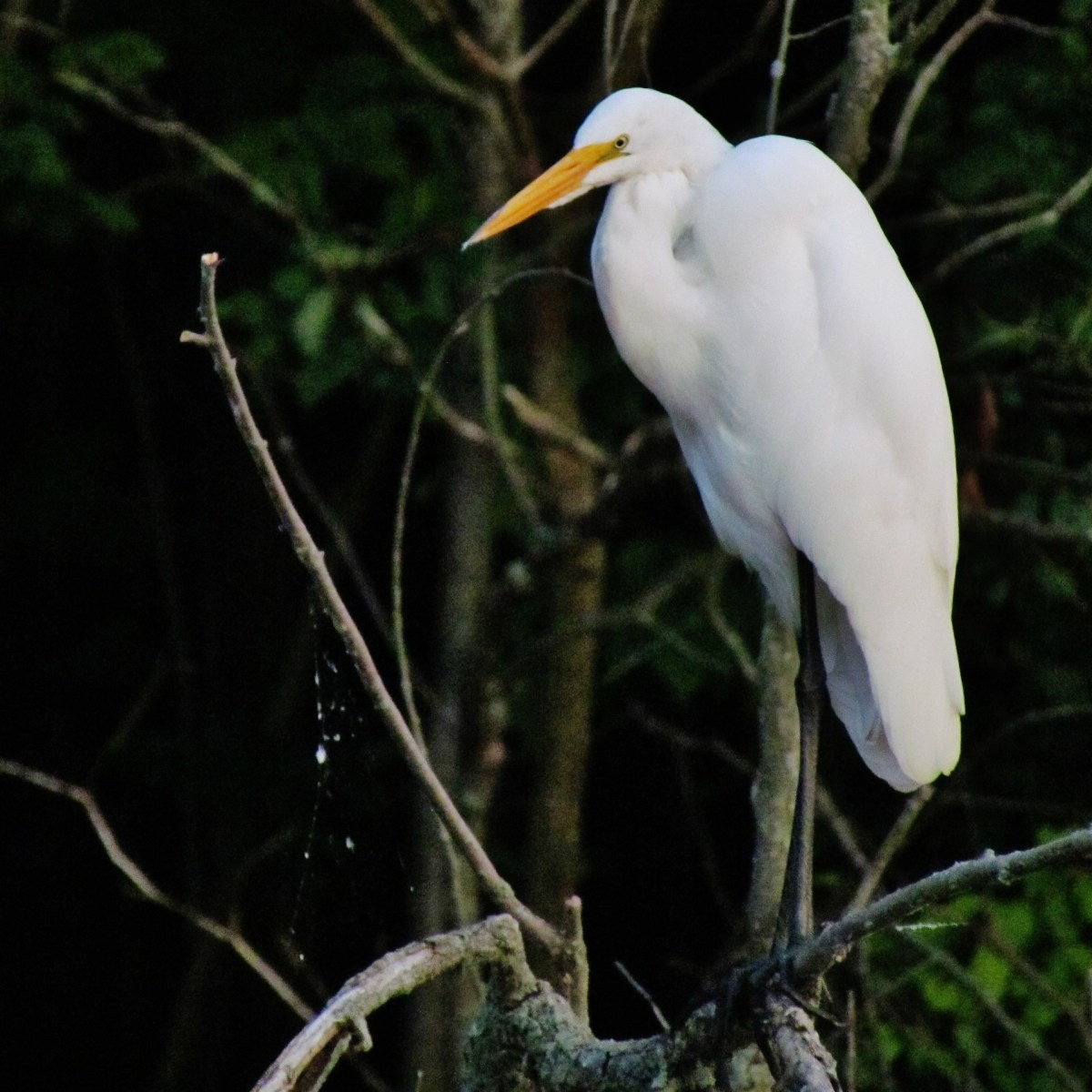 A Great Egret looks down from its perch in a leafless tree